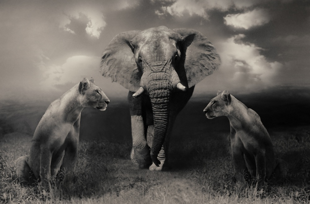 lionesses-644822